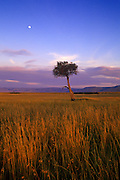 Image of a tree and grasslands at the Masai Mara National Reserve in Kenya, Africa