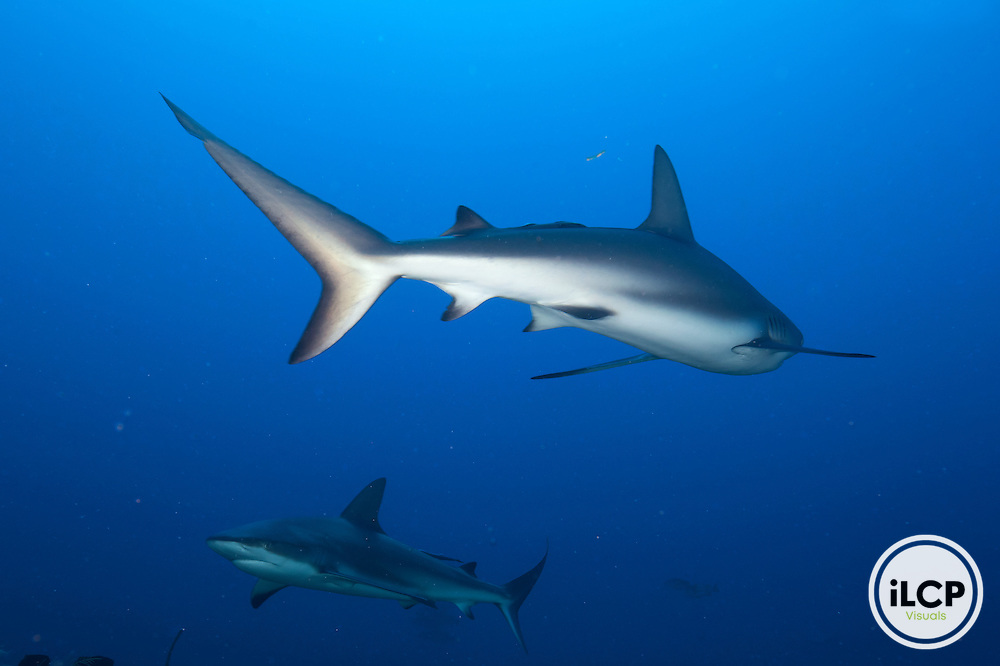 Caribbean Reef Shark (Carcharhinus perezi), IUCN redlist Near Threatened, Cordelia Banks, Roatan Island, Bay Islands, Honduras, April