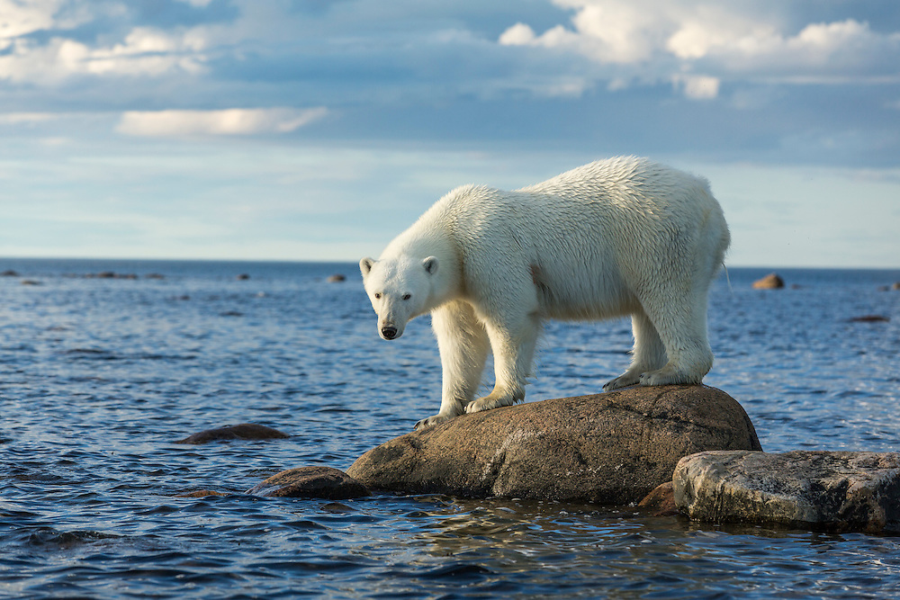 Canada, Manitoba, Polar Bear (Ursus maritimus) standing on rocks surrounded by rising tide at Hubbart Point along Hudson Bay on summer evening