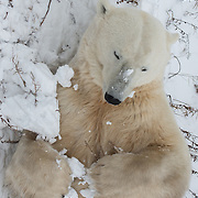 A polar bear (Ursus maritimus) on the tundra near Churchill, Hudson Bay, far north Manitoba, Canada. During a six-week span in October and November this area has the highest concentration of polar bears in the world. The bears assemble along the coast, and wait for the sea ice to form so they can begin hunting seals. The bears fast during this time, so if the ice forms later in the year, the bears must fast for longer, therefore decreasing their chances of surviving until winter.  As global temperatures warm, the bears in this area are struggling to adapt in time to meet the longer summers. This is demonstrated in many ways, including the number of cubs a female has each season. Fifteen years ago it was common to see a mother bear with three babies, and seven years ago twins were still common. Now bears here seldom give birth to more than one cub, and many females are not fit enough to produce even a single offspring.  Photo © William Drumm, 2013.