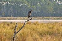 A great blue heron at dawn looking over the salt marshes of the St. Marks National Wildlife refuge in North Florida ona cold winter morning.