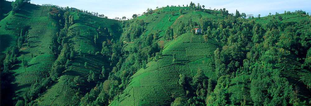 TURKEY, AGRICULTURE Tea plantations on steep terraced field along the coast of the Black Sea near Rize; Turkey's main tea producing area