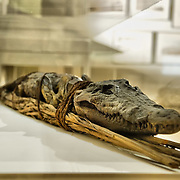 "VENICE, ITALY - SEPTEMBER 30:  A crocodile mummy is  seen during the press preview of the Exhibition ""Venice and Egypt""on September 30, 2011 in Venice, Italy. ""Venice and Egypt"" is an exhibition on the relationship and the ties between Venice and Egypt over almost two thousand years, from ancient times up to the opening of the Suez Canal."