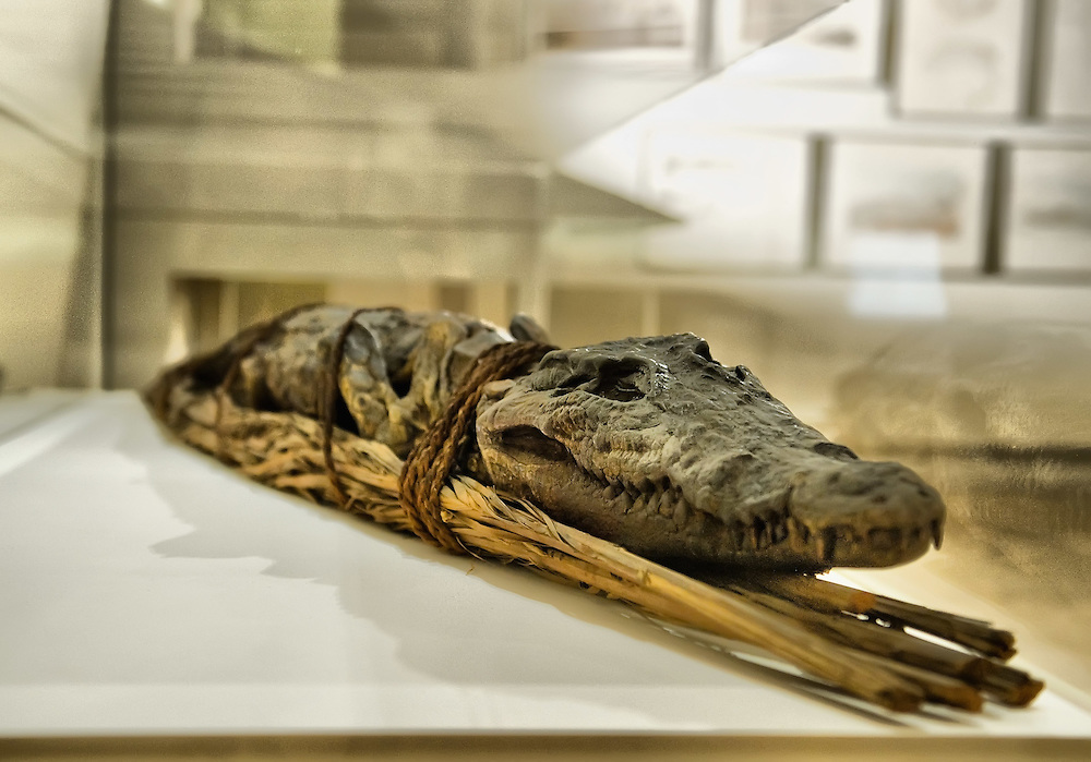 """VENICE, ITALY - SEPTEMBER 30:  A crocodile mummy is  seen during the press preview of the Exhibition """"Venice and Egypt""""on September 30, 2011 in Venice, Italy. """"Venice and Egypt"""" is an exhibition on the relationship and the ties between Venice and Egypt over almost two thousand years, from ancient times up to the opening of the Suez Canal."""