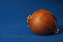 29 January 2016:   The common onion on blue background