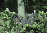 Pacific Silver Fir (Beautiful Fir) Abies amabilis (Pinaceae) HEIGHT to 32m. Has luxuriant foliage, a strong trunk thick tapering crown on in suitable wet climates. BARK Silvery. LEAVES Glossy, to 3cm long, silvery below and densely packed; orange-scented when crushed. REPRODUCTIVE PARTS Smooth oval cones tinged purple; grow on upper surface of twigs. STATUS AND DISTRIBUTION Native of NW USA. Widely planted here for ornament.