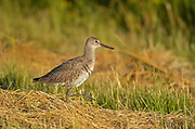 Willet (Tringa semipalmata)<br />