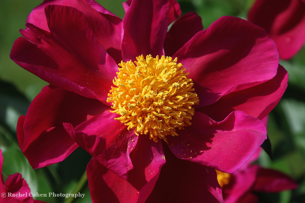 &quot;Peony Pixie Dust&quot;<br />