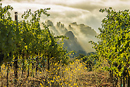 Ridge Vineyards, Monte Bello vineyard at dawn, Santa Cruz Mountains, California