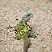 An Eyed Butterfly lizard, leiolepis ocellata, at Huai Kha Kaeng Wildlife Sanctuary in Thailand