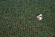 Vast expanses of palm oil plantations east of Pekanbaru, Sumatra, Indonesia, Aug. 30, 2008..Daniel Beltra/Greenpeace