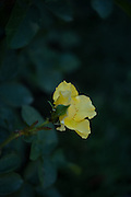 Photo yellow rose flower, matted print, wall art. California nature, garden, photography. Santa Monica, Westside, Venice, Los Angeles, Fine art photography limited edition.