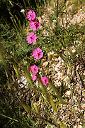 Red Palestine Campion (Silene palaestina) flowers. Photographed in the Golan Heights, Israel in May