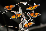 close-up of five monarch butterflys sunning themselfs on a tree branch.