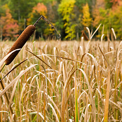 Cattails on the edge of a freshwater marsh near Page Brook and Lake Winnipesauke in Meredith, New Hampshire