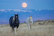 The pinto stallion, Siska, and his mare, Tiaga, travel beneath the full moon at McCullough Peaks Herd Management Area.