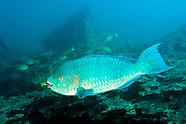 Parrortfishes