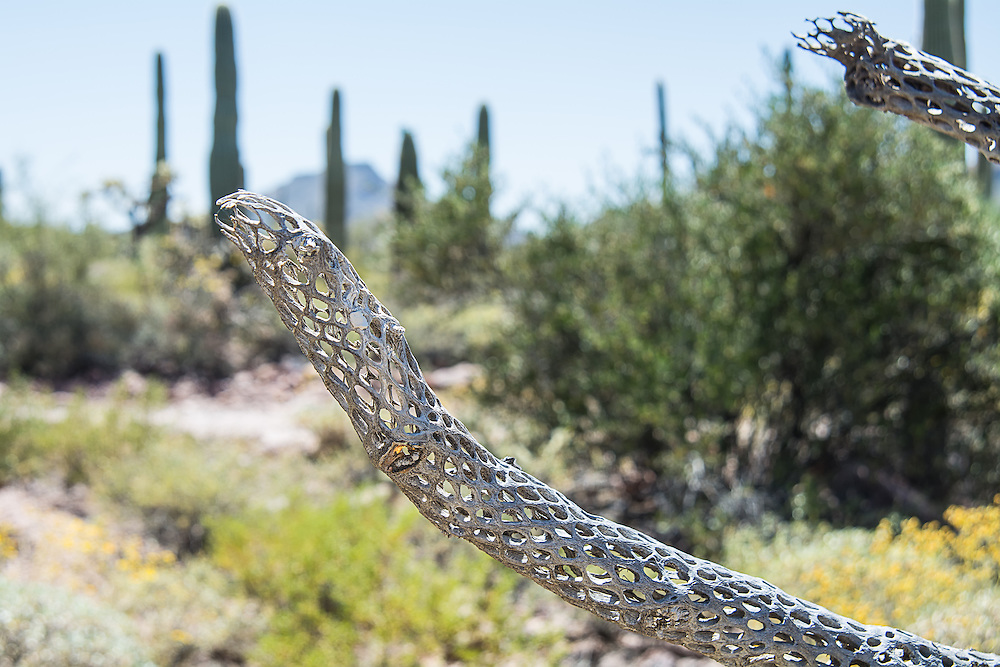 Skeletal remains of a long-dead buckhorn cholla cactus still stand in the Sonoran Desert in the Alamo Canyon, deep in the Ajo Mountains of Southern Pima County, Arizona near the Mexican border.