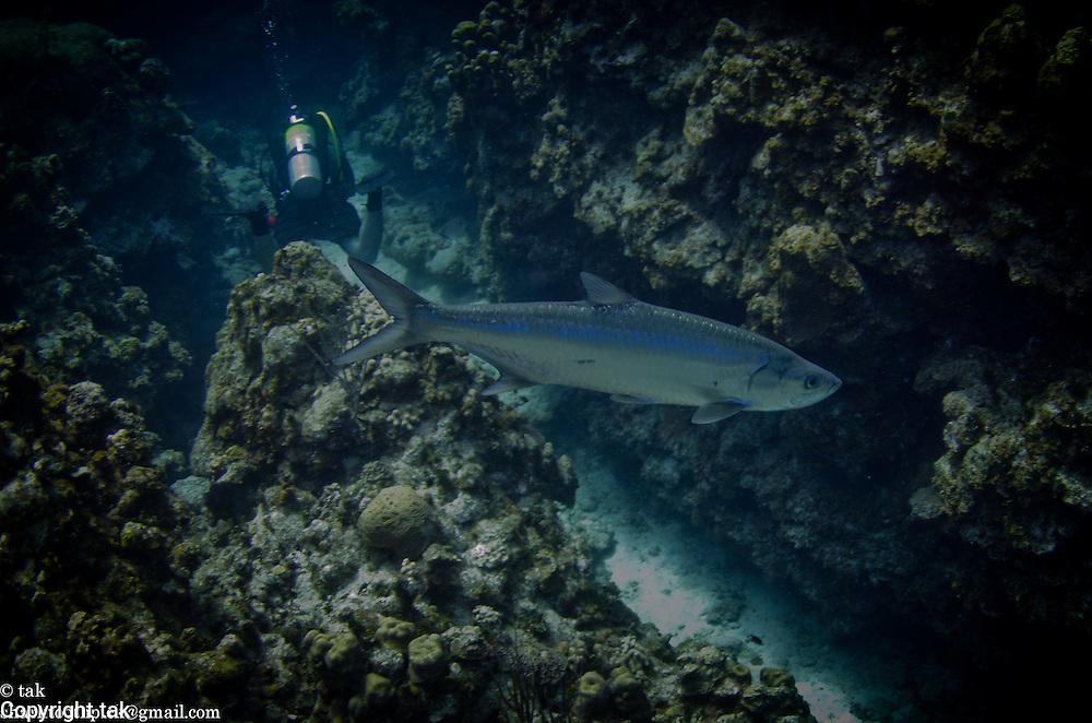 Tarpon and a scuba diver in a Grand Cayman swim through