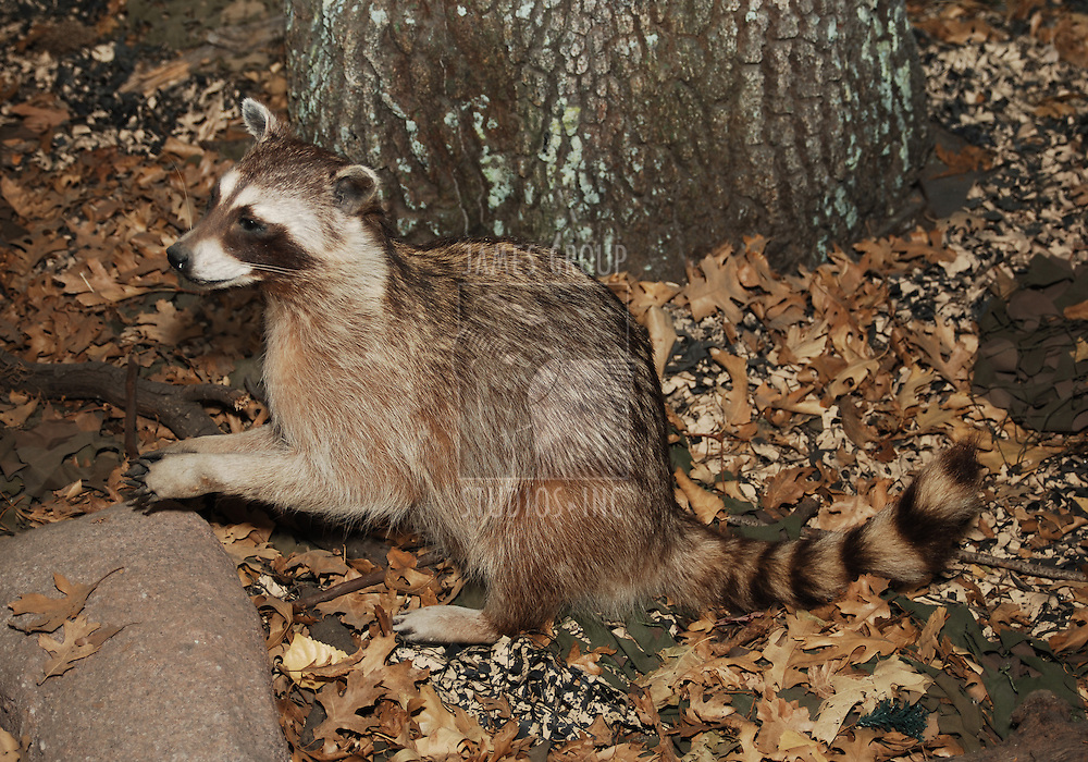 racoon in setting with tree trunk and dried leaves
