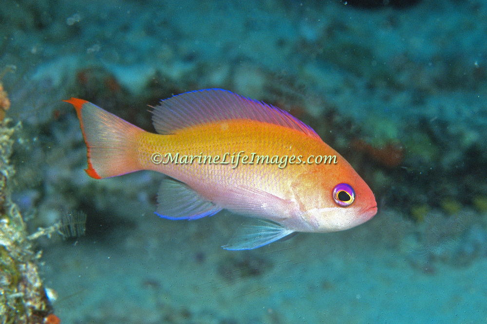 Stocky Anthias inhabit reefs. Picture taken Fiji.
