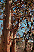 Eastern Red Cedar tree at the Ipswich River Wildlife Sanctuary, Topsfield, MA.