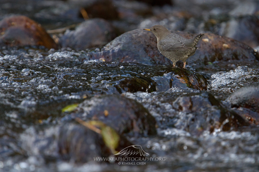 American Dipper in fast flowing waters of the Merced river, Yosemite National Park