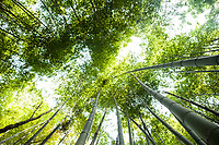 The bamboo forests of Kyoto, Japan.