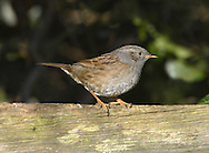 Dunnock Prunella modularis L 13-14cm. House Sparrow-like bird with a thin, warbler-like bill. Mostly rather skulking. Sexes are similar. Adult has streaked chestnut-brown back. Underparts are mostly bluish grey but flanks are streaked with brown and chestnut. Face is bluish grey with brown streaking on ear coverts and crown. Bill is dark and legs are reddish pink. Juvenile is similar but has bolder streaking. Voice Song is warbler-like; usually delivered from prominent perch. Alarm call is a thin tseer. Status Common resident of woodlands, hedgerows and gardens with plenty of cover.