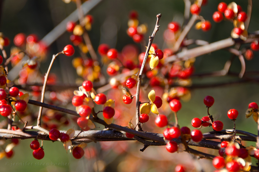 Autumn berries of the Bittersweet vine (Celastrus scandens).