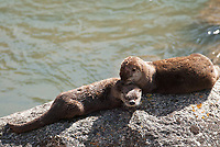 The Northern River Otter is found along rivers and the North American coasts this one was located in Yellowstone National Park.