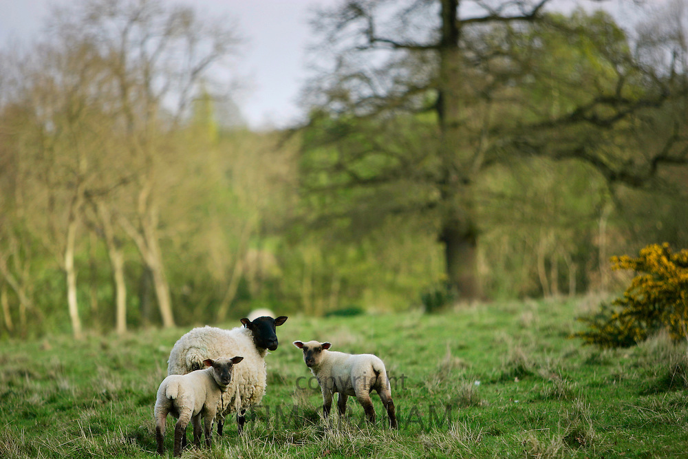 Sheep with young lambs, Cotswolds England