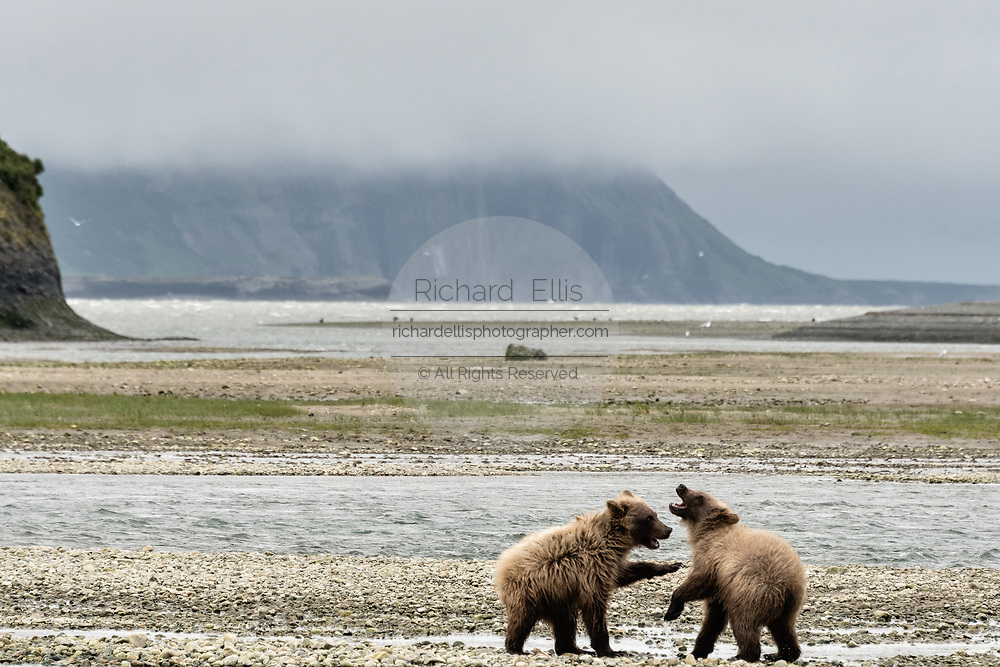 Brown bear yearling cubs play at the McNeil River State Game Sanctuary on the Kenai Peninsula, Alaska. The remote site is accessed only with a special permit and is the world's largest seasonal population of brown bears in their natural environment.