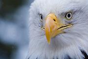 Bald Eagle, Haliaeetus leucocephalus, face dotted with snow, Kenai Peninsula, Homer Spit, Homer, Alaska. Digital original, #2006_0392 ©Robin Brandt