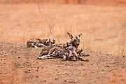 "*50% off all proceeds of photos of wild dogs will go to the Painted Dog Conservation project in Zimbabwe (wild dogs are also called painted dogs) or the Zambian Carnivore Programme. For more information, click on ""50% Charity Pledge"" on the homepage, and thanks for supporting wild dogs!"