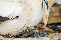 Newly hatched Cape Gannet chick, Malgas Island, Western Cape, South Africa
