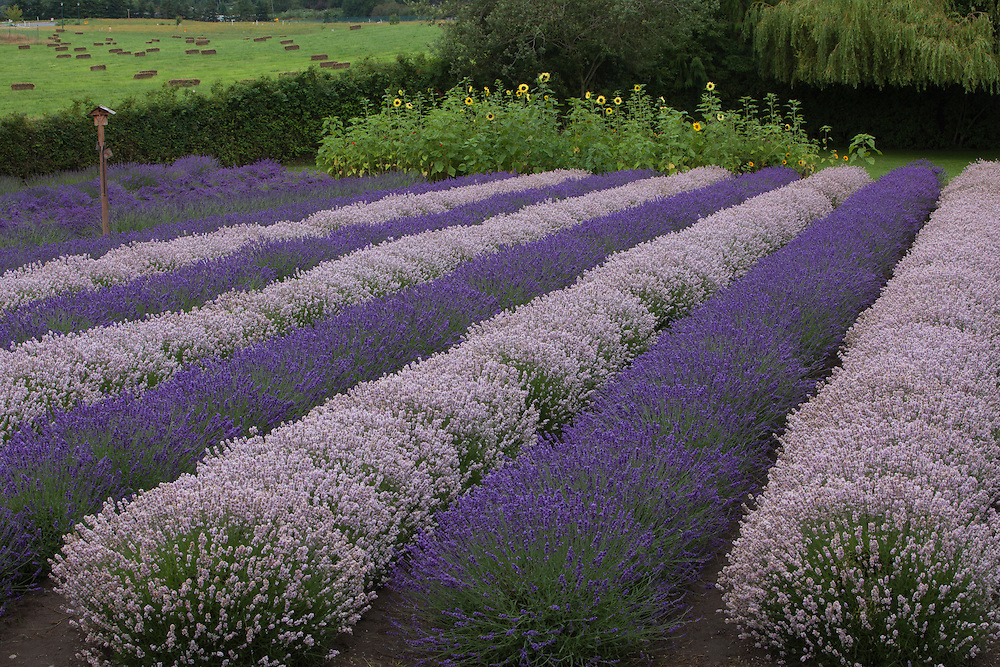 North America, United States, Washington, Sequim, rows of different shades of lavender in field with sunflowers at Lavender Festival, held annually each July. PR