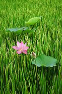 Vietnam Images-flowẻ-lotus-Đồng Tháp-Mekong delta -Hoàng thế Nhiệm