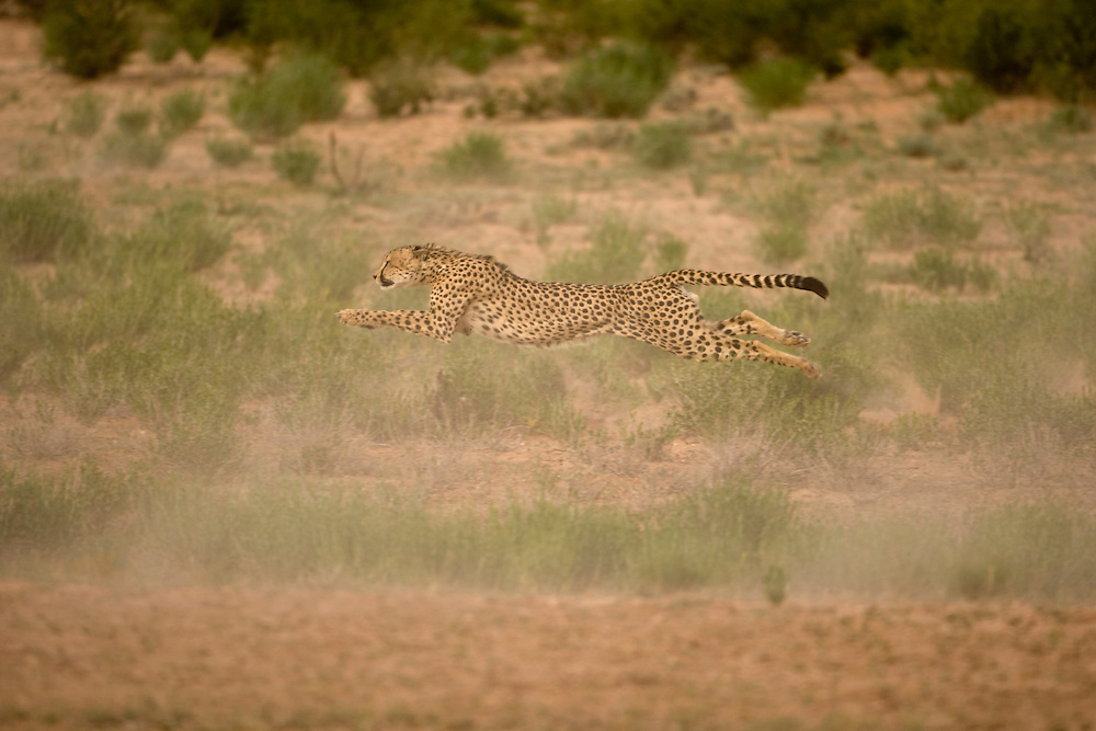 South Africa, Kgalagadi Transfrontier Park, Cheetah (Acinonyx jubatas) stretches airborne while sprinting after fleeing Springbok herd in dry river bed in Kalahari Desert