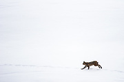 Bobcat (Lynx rufus) running in the snow, Yellowstone National Park