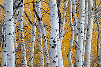 White aspen tree trunks against the backdrop of vibrant yellow Utah Fall Colors along the Alpine Loop in American Fork Canyon.