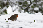 European Robin (Erithacus rubecula) perched on a branch in the snow, Photographed in Israel in January