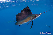Atlantic sailfish, Istiophorus albicans, hunting sardines off Yucatan Peninsula, Mexico ( Caribbean Sea ); sailfish has scars from recreational catch-and-release fishery