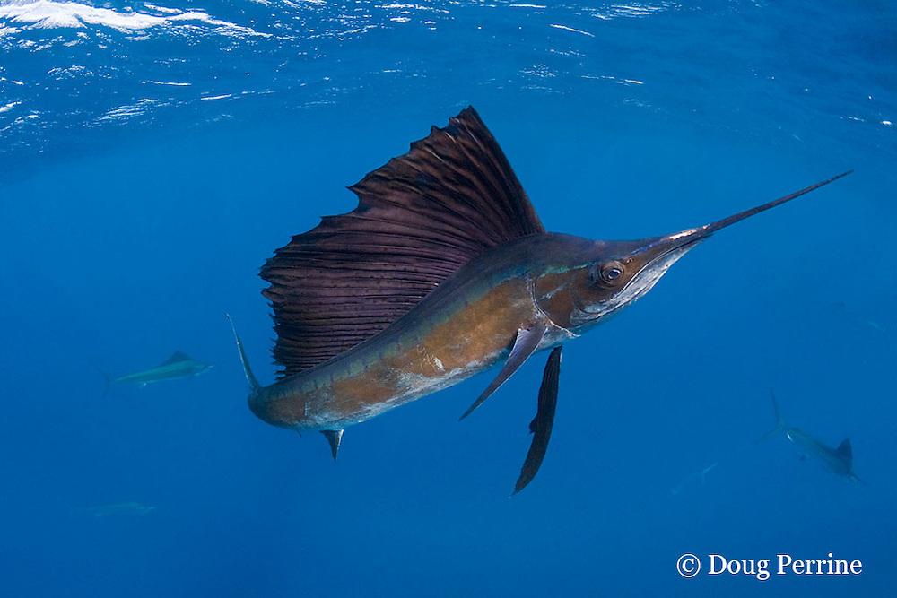 Atlantic sailfish, Istiophorus albicans, hunting sardines off Yucatan Peninsula, Mexico ( Caribbean Sea ); sailfish has scars from recreational catch-and-release fishery