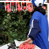South America, Ecuador, Cayambe. Selecting and packaging roses at Rosadex Factory.