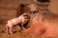DEU, Deutschland: Hausschwein (Sus Scrofa f. domestica), Ferkel spielt mit seiner Mutter, Seedorf, Schleswig-Holstein | DEU, Germany: Domestic pig (Sus scrofa f. domestica), piglet playing with its mother, Seedorf, Schleswig-Holstein |