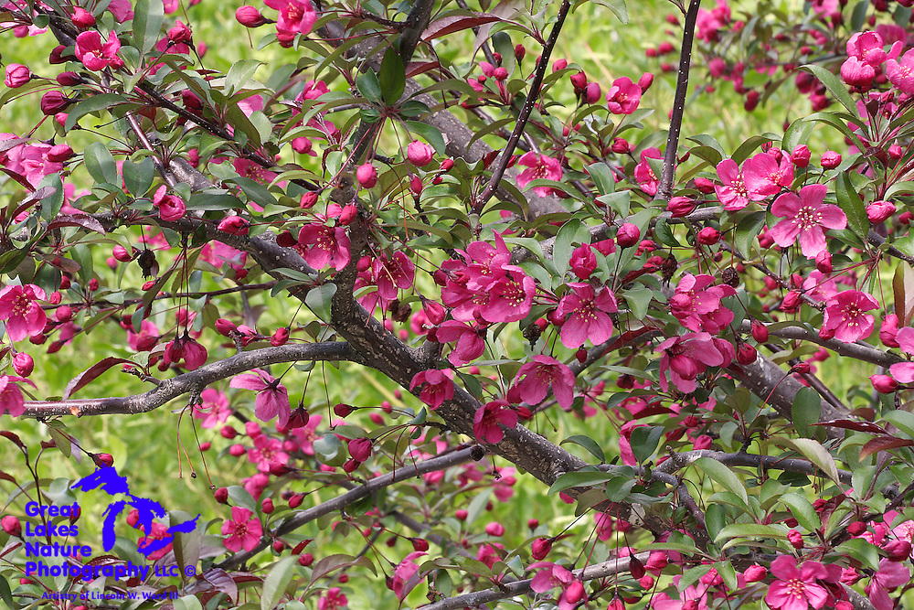 Spring is a beautiful season in the Midwest, with spectacular foliage and natural floral color. The crabapple blossoms contrast against a background of bright green foliage.