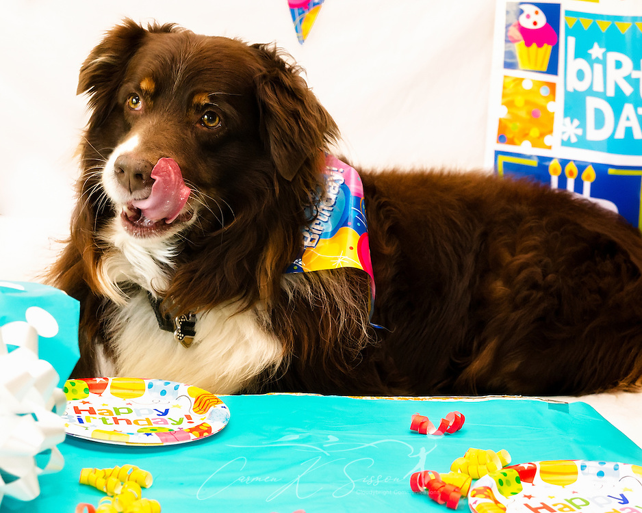 """Cowboy, an eight-year-old red tri Australian Shepherd, licks his lips after eating his cheeseburger """"cake"""" at his birthday party, April 4, 2016, in Coden, Alabama. (Photo by Carmen K. Sisson/Cloudybright)"""