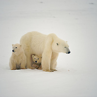 Polar Bear Exhibit Images