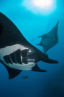 Giant Manta Rays<br /> <br /> Shot in Mexico